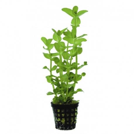 bacopa amplexicaulis plante en pot pour aquarium et terrarium aqua store. Black Bedroom Furniture Sets. Home Design Ideas