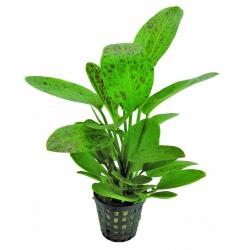 Plante Aquarium - ECHINODORUS OZELOT GROEN - 5CM