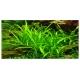 Sagittaria Subulata - Plante en Pot pour Aquarium