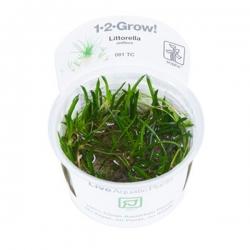 Littorella uniflora - Plante en Pot In Vitro pour Aquarium