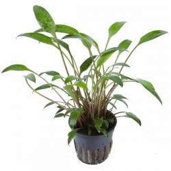Cryptocoryne Wendtii Green - Plante en Pot pour Aquarium