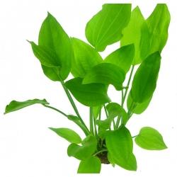 Echinodorus argentinensis - Plante en Pot pour Aquarium