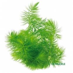 Ceratophyllum demersum - Plante pour Aquarium