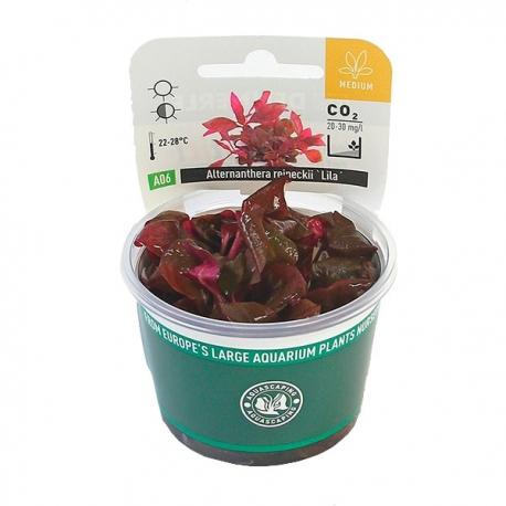 DENNERLE Alternanthera Reineckii Lila, plante en pot pour aquarium