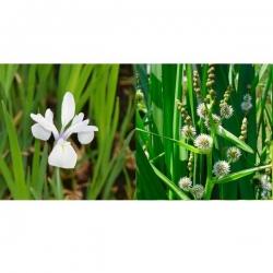 Panier avec 2 plantes précultivées - Iris Iaevigata Snowdrift et Sparganium Erectum