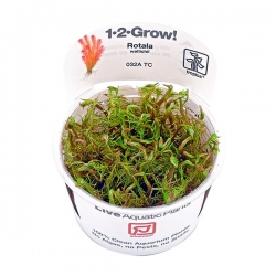 TROPICA Rotala Wallichii, plante en pot 1-2-Grow pour aquarium
