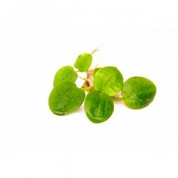 Limnobium laevigatum - Plante flottante in-vitro pour Aquarium