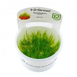 Taxiphyllum barbieri - Plante en Pot In Vitro pour Aquarium