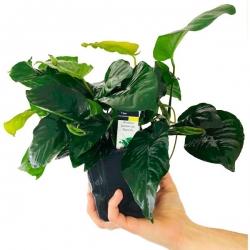 Anubias barteri var. nana - Plante pied-mère en pot pour aquarium