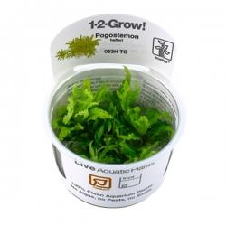 Pogostemon helferi - Plante en Pot In Vitro pour Aquarium
