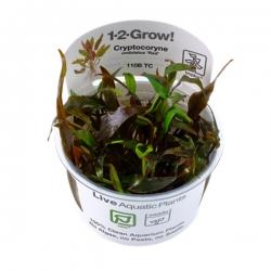"""Cryptocoryne undulatus """"Red"""" - Plante en Pot In Vitro pour Aquarium"""
