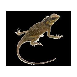 Lézards, geckos, caméléons - Sauriens