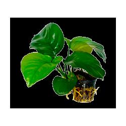 Plantes pour Aquarium