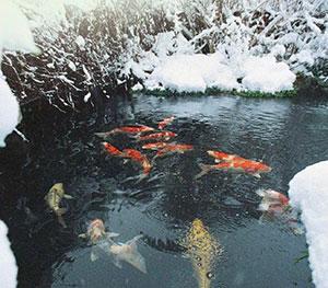 Adapter la nourriture des poissons de bassin en hiver