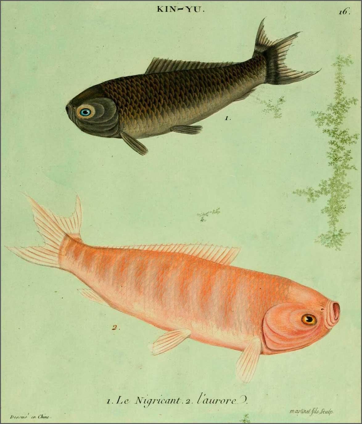 Dorade de la Chine les début de l'aquariophilie