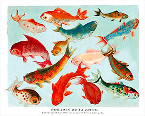 Les ancètres du poisson rouge, premiers poissons ornementaux