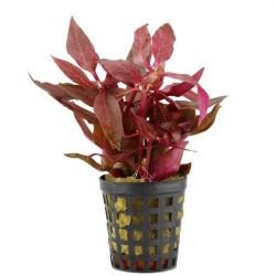 Plante rouge pour aquarium
