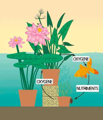 Les plantes de bassin filtrent et oxygènent l'eau