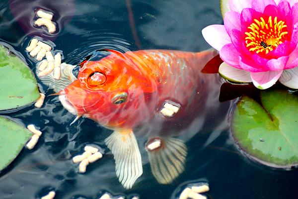 Nourrir correctement ses poissons de bassin pour les maintenir en bonne santé et conserver l'éclat de leurs couleurs